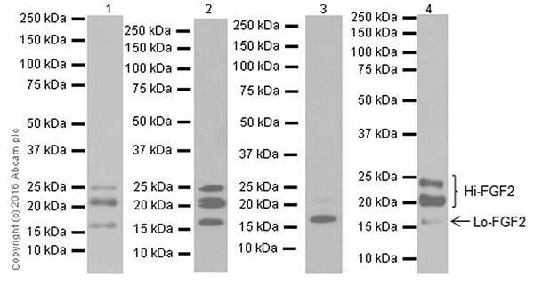 Western blot - Anti-FGF2 antibody [EPR20145-219] (ab208687)