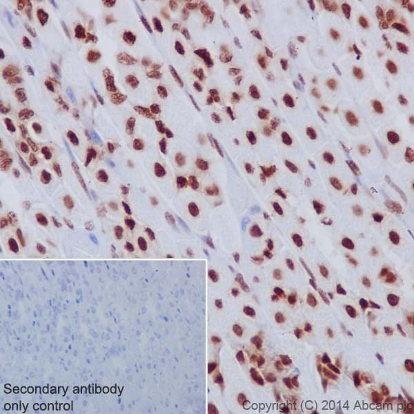 Immunohistochemistry (Formalin/PFA-fixed paraffin-embedded sections) - Anti-Histone H3.3 antibody [EPR17899] - BSA and Azide free (ab208690)