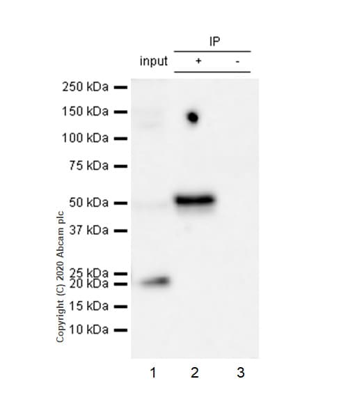 Immunoprecipitation - Anti-Cyclin E1 antibody [EP435E] - BSA and Azide free (ab208696)