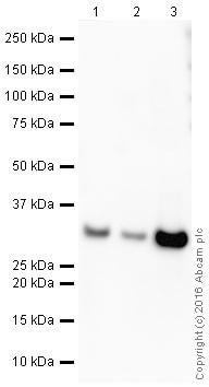 Western blot - Anti-Galectin 3 antibody [EPR2774] (HRP) (ab208719)