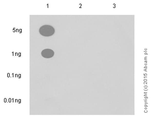 Dot Blot - Anti-ATM (phospho S1981) antibody [EP1890Y] - BSA and Azide free (ab208775)