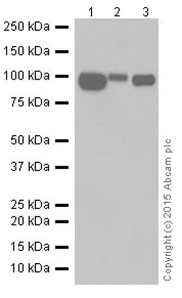 Western blot - Anti-CD10 antibody [EPR5904-110] (ab208778)