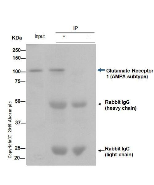 Immunoprecipitation - Anti-Glutamate Receptor 1 (AMPA subtype) antibody [EPR5479] - BSA and Azide free (ab208789)