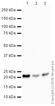 Western blot - Anti-CSN8 antibody [EPR5139] (HRP) (ab208842)