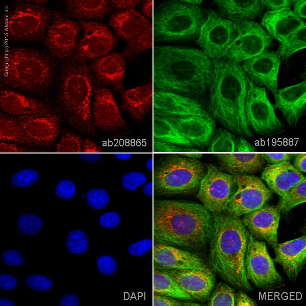 Immunocytochemistry/ Immunofluorescence - Anti-TRK fused gene antibody [EPR8766] (Alexa Fluor® 647) (ab208865)