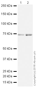Western blot - Anti-IMP3 antibody [EPR12021] (HRP) (ab208869)
