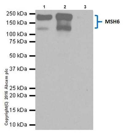 Immunoprecipitation - Anti-MSH6 antibody [EPR20316] (ab208940)