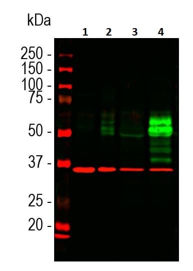 Western blot - Anti-c-Fos antibody [2H2] (ab208942)