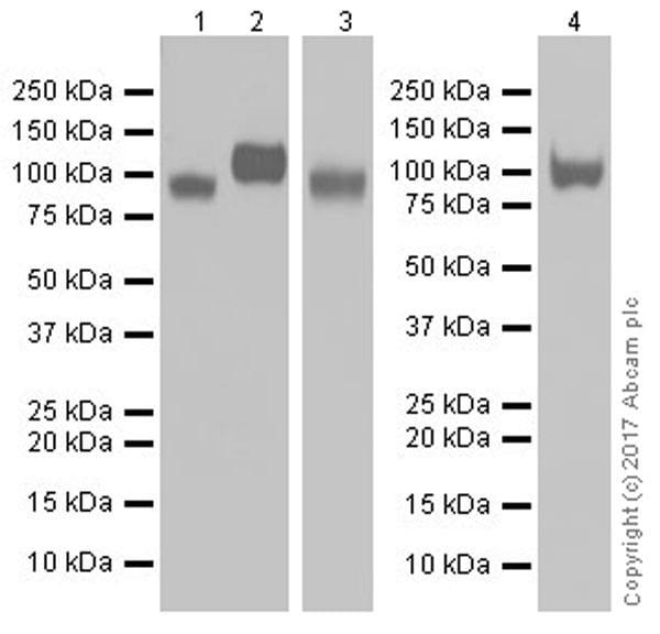 Western blot - Anti-LAMP1 antibody [EPR21026] (ab208943)