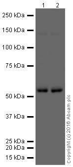 Western blot - Anti-IgG2 antibody [EPR4418] (HRP) (ab209010)
