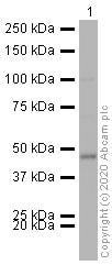 Western blot - HRP Anti-ASS1 antibody [EPR12398] (ab209018)