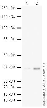 Western blot - HRP Anti-Caspase-7 antibody [EPR17029] (ab209036)
