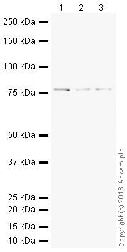 Western blot - HRP Anti-FUBP1/FBP antibody [EPR12326] (ab209049)