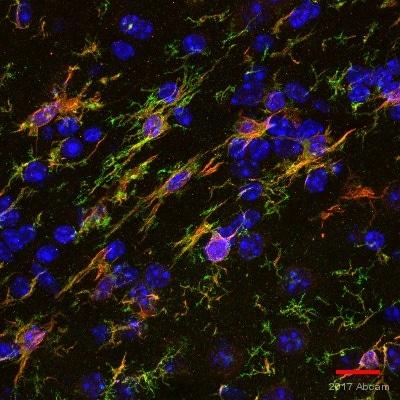 Immunohistochemistry (Frozen sections) - Anti-TMEM119 antibody [28-3] - Microglial marker (ab209064)