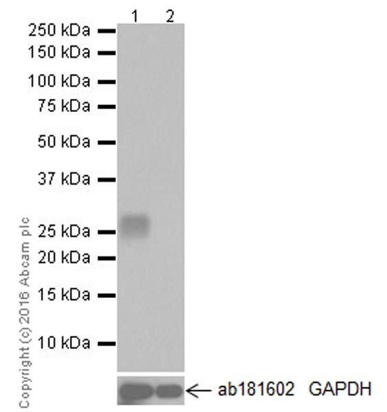 Western blot - Anti-Granzyme A antibody [EPR20161] (ab209205)