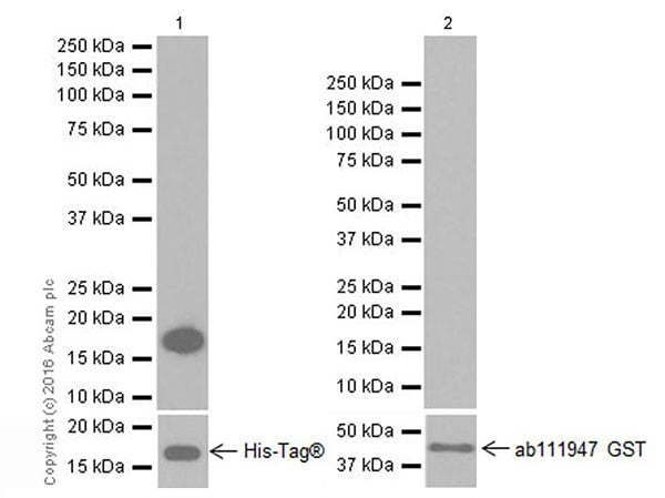 Western blot - Anti-Anterior Gradient 2 antibody [EPR20164-278] (ab209224)