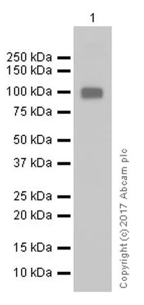 Western blot - Anti-LAG-3 antibody [EPR20294-77] (ab209238)