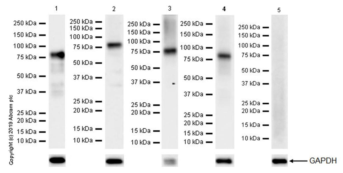 Western blot - Anti-Bag3 antibody [EPR20207-109-3] (ab209251)