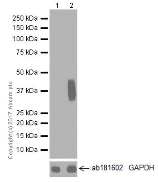 Western blot - Anti-CD137 antibody [EPR20238] (ab209256)