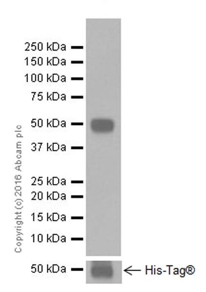 Western blot - Anti-ICOS Ligand/ICOSL antibody [EPR20240] (ab209262)
