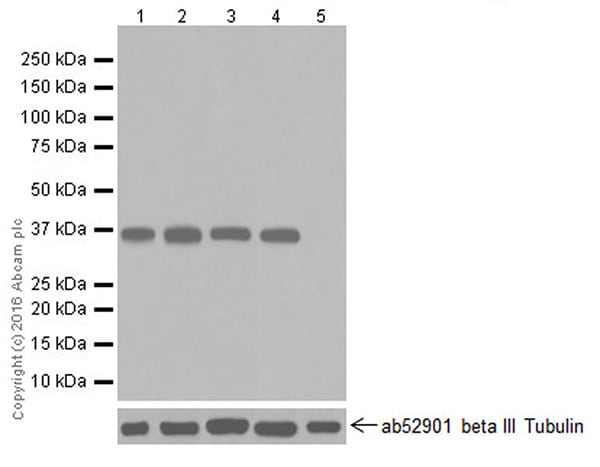 Western blot - Anti-E3 ubiquitin-protein ligase MUL1 antibody [EPR20241] (ab209263)