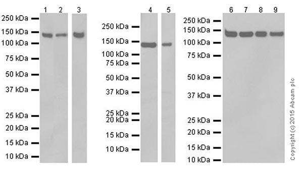 Western blot - Anti-SF3B3 antibody [EPR18441] (ab209403)
