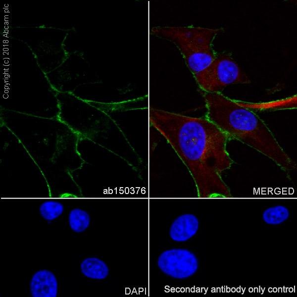Immunocytochemistry/ Immunofluorescence - Anti-LRRC15 antibody [EPR8188(2)] - BSA and Azide free (ab209427)