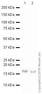 Western blot - Anti-Survivin antibody [EPR17358] (HRP) (ab209466)