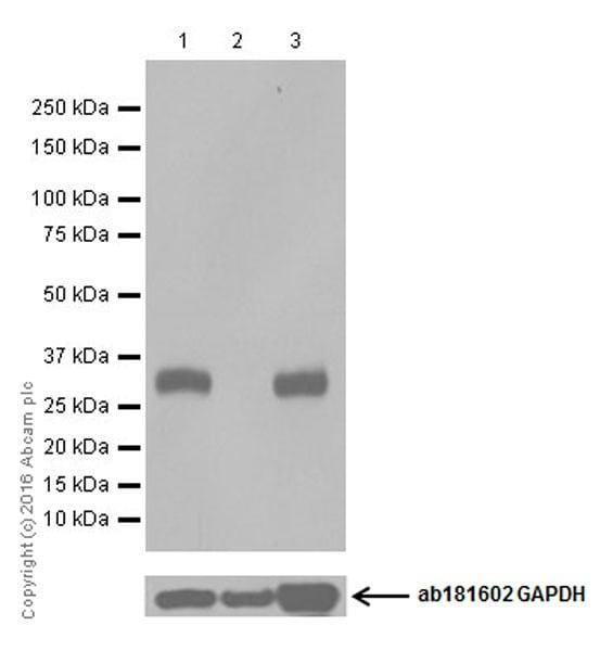 Western blot - Anti-UCP1 antibody [EPR20381] (ab209483)