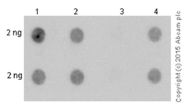 Dot Blot - Anti-Alpha-synuclein filament antibody [MJFR-14-6-4-2] - Conformation-Specific (ab209538)