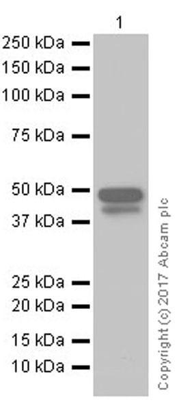 Western blot - Anti-Brachyury / Bry antibody [EPR18113] (ab209665)