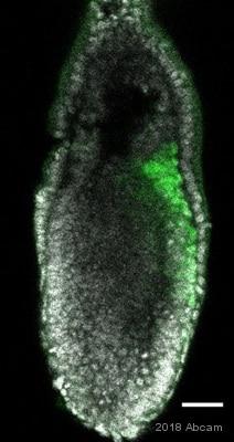IHC - Wholemount - Anti-Brachyury / Bry antibody [EPR18113] (ab209665)