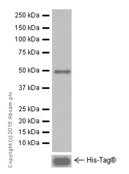Western blot - Anti-MAGEC2 antibody [EPR19064] (ab209667)