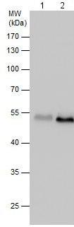 Western blot - Anti-Meis2.1 antibody (ab209705)