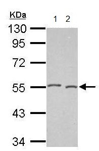 Western blot - Anti-DNAJA2 antibody (ab209719)