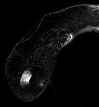 IHC - Wholemount - Anti-ALDH1A2 antibody (ab209726)