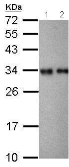 Western blot - Anti-RPL7A antibody (ab209732)