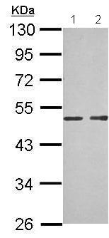 Western blot - Anti-MAB21L1  antibody (ab209733)