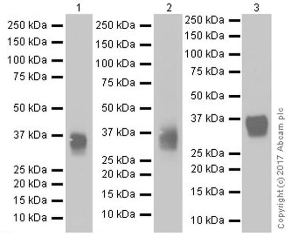Western blot - Anti-CD8 alpha antibody [EPR20305] (ab209775)