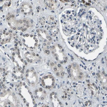 Immunohistochemistry (Formalin/PFA-fixed paraffin-embedded sections) - Anti-c-Fos antibody (ab209794)