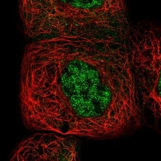 Immunocytochemistry - Anti-NFkB p105 / p50 antibody (ab209795)