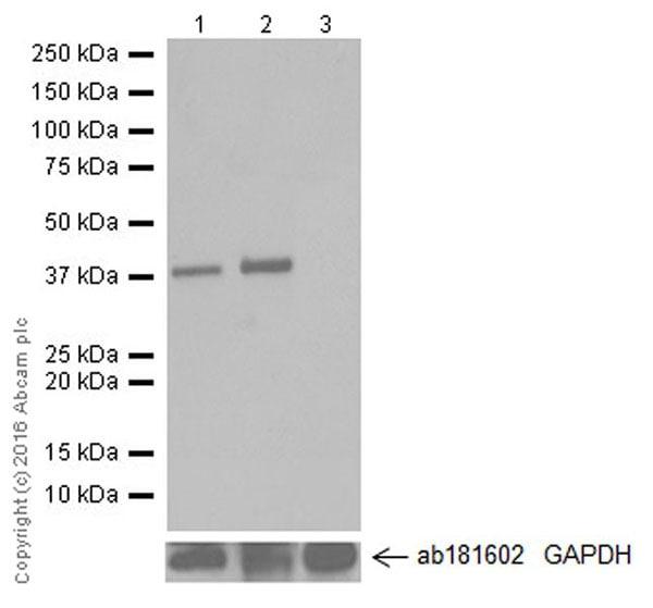 Western blot - Anti-Cardiac Troponin T antibody [EPR20266] (ab209813)
