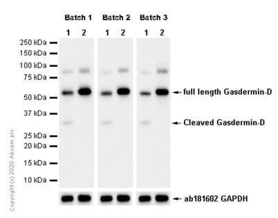 Western blot - Anti-GSDMD antibody [EPR19828] (ab209845)