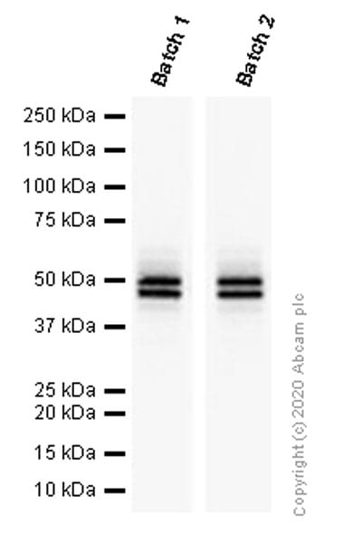 Western blot - Anti-NeuN antibody [EPR12763] - BSA and Azide free (ab209898)