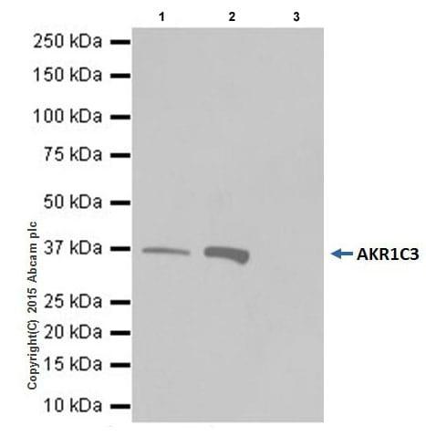 Immunoprecipitation - Anti-AKR1C3 antibody [EPR16726] (ab209899)