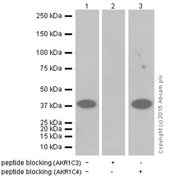 Western blot - Anti-AKR1C3 antibody [EPR16726] (ab209899)