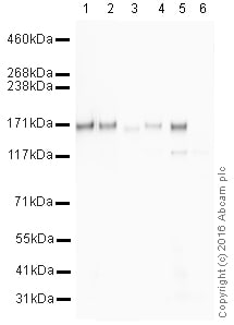 Western blot - HRP Anti-Integrin alpha 2 antibody [EPR17338] - C-terminal (ab209944)