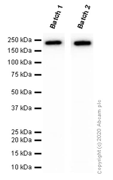 Western blot - Anti-CD11b antibody [EPR1344] - BSA and Azide free (ab209970)