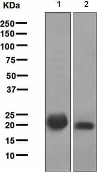 Western blot - Anti-Ras antibody [EPR3255] - BSA and Azide free (ab209974)