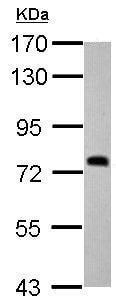 Western blot - Anti-SDHA antibody (ab209986)